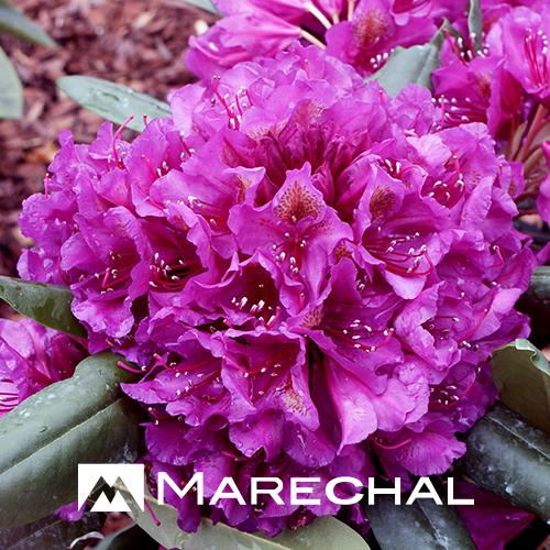 Rhododendron 'Marcel Menard' - rhododendron