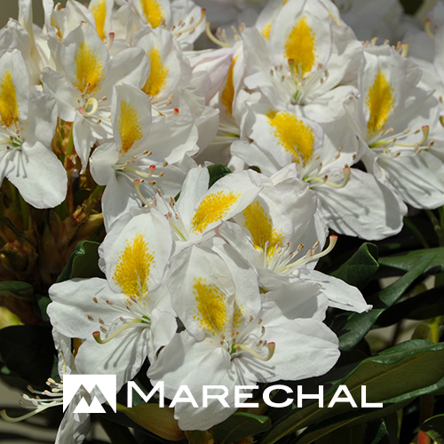 Rhododendron 'Mme Masson' (Rhododendron hybride).