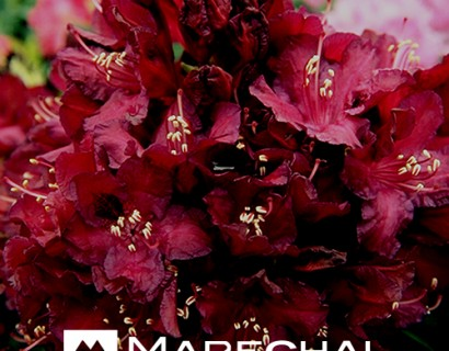Rhododendron 'Mme Marie Fortie'