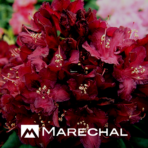 Rhododendron 'Mme Marie Fortie' - rhododendron
