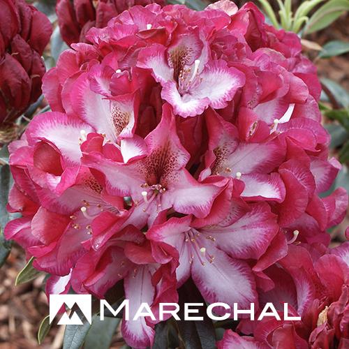 Rhododendron 'Midnight Mystique' - rhododendron