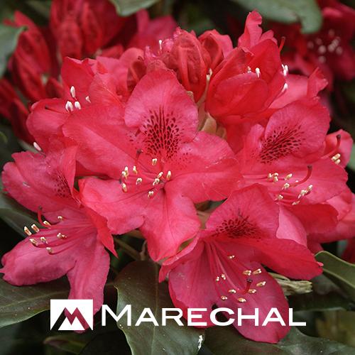 Rhododendron 'Nova Zembla' - rhododendron