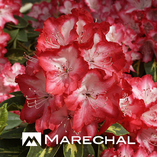 Rhododendron 'President Roosevelt' - rhododendron