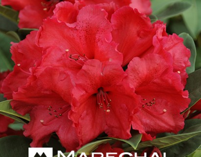 Rhododendron 'Red Jack' - rhododendron
