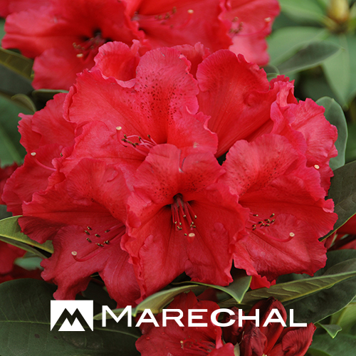 Rhododendron 'Red Jack'.