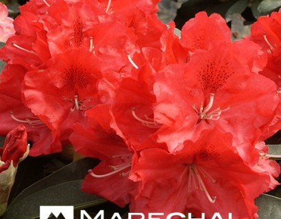 Rhododendron 'Wilgen's Ruby' - rhododendron