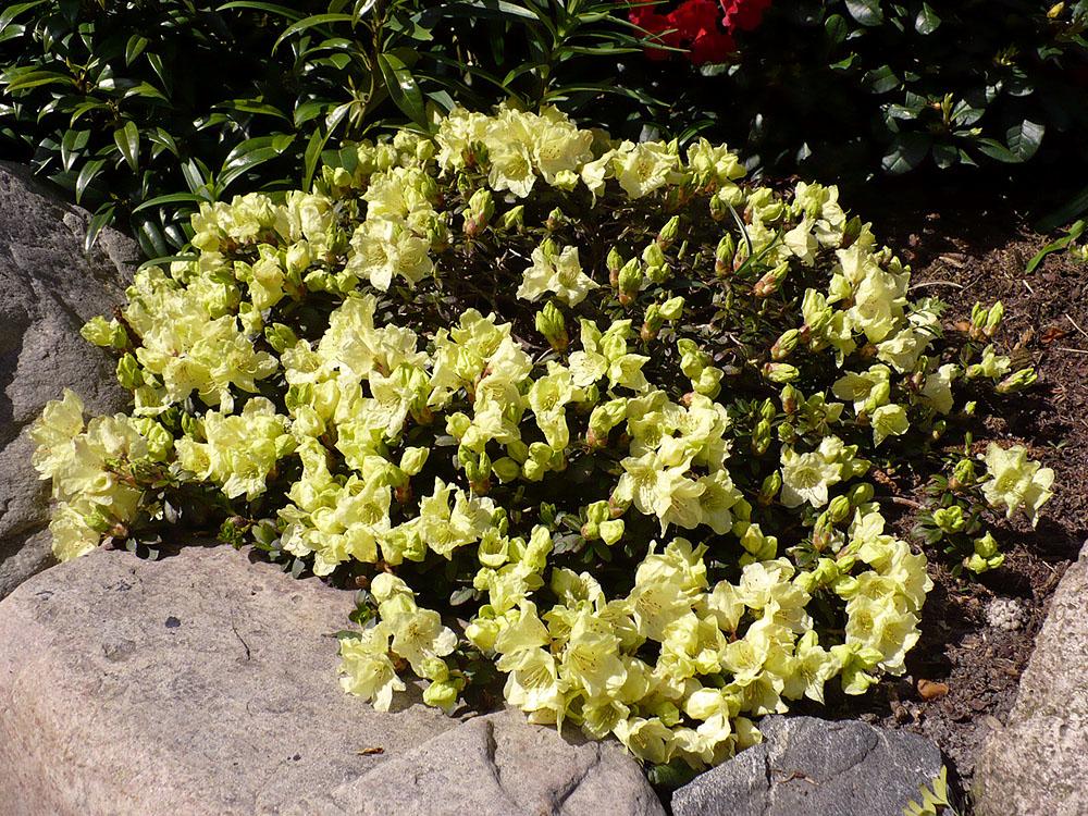 Rhododendron 'Wren' - dwergrhododendron