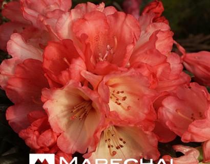 Rhododendron yakushimanum 'Bambi' - dwergrhododendron