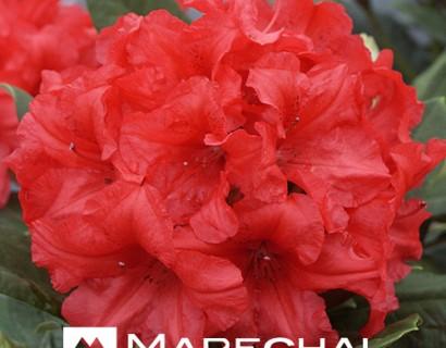 Rhododendron yakushimanum 'Dopey'