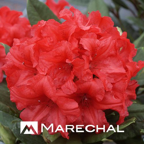 Rhododendron yakushimanum 'Dopey' - dwergrhododendron