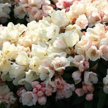 Rhododendron yakushimanum 'Dusty Miller' - dwergrhododendron