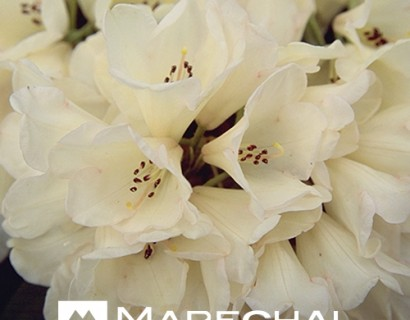 Rhododendron yakushimanum 'Grumphy' - dwergrhododendron
