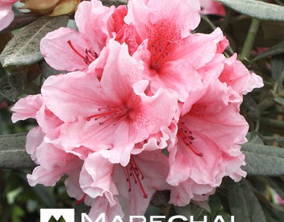 Rhododendron yakushimanum 'Hydon Dawn'