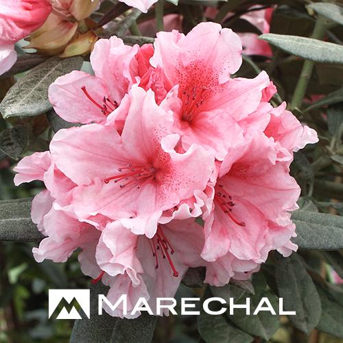 Rhododendron yakushimanum 'Hydon Dawn' - dwergrhododendron