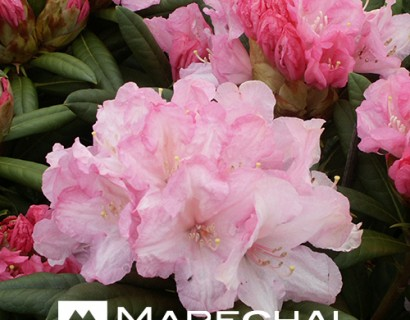 Rhododendron yakushimanum 'Morning Cloud'