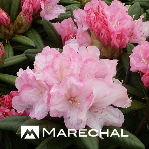 Rhododendron yakushimanum 'Morning Cloud' - dwergrhododendron