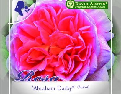 Rosa 'Abraham Darby' - David Austin roos