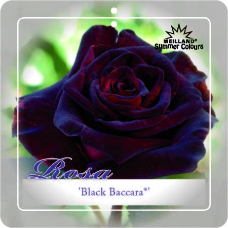 Rosa 'Black Baccara' - grootbloemige Meilland roos