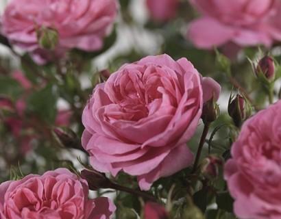 Rosa 'Berleburg' - tros-heesterroos
