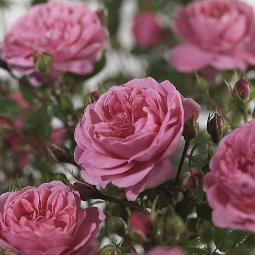 Rosa 'Berleburg' stam - stamroos