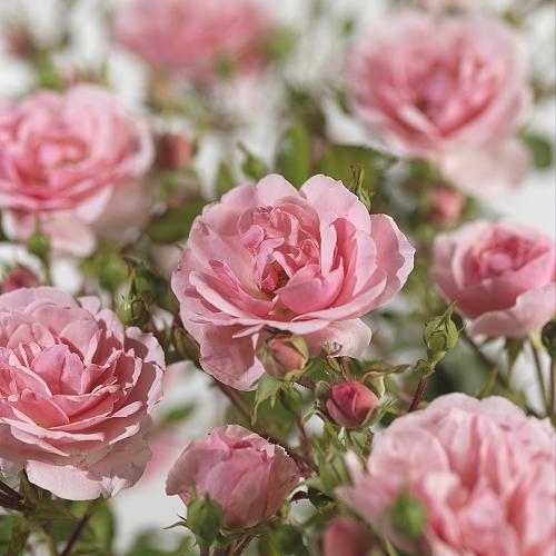 Rosa 'Bonica' - Meilland roos