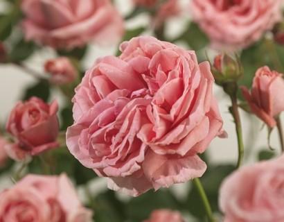 Rosa 'Coral Dawn' klim - grootbloemige klimroos