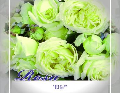 Rosa 'Elfe' klim - Grootbloemige klimroos
