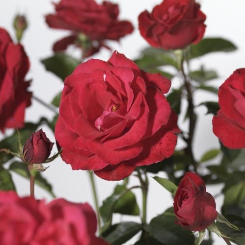 Rosa 'Grüss an Heidelberg' klim - klimroos