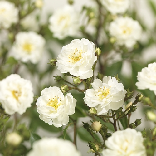 Rosa 'Guirlande d'Amour' rambler of liaanroos - rambler of liaanroos