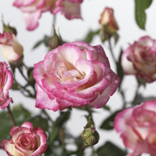 Rosa 'Händel' klim - klimroos