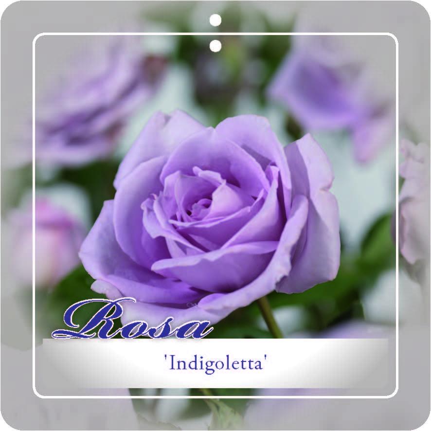 Rosa 'Indigoletta' klim - klimroos