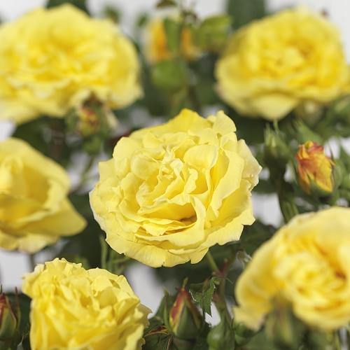 Rosa 'Lichtkönigin Lucia' klim - klimroos