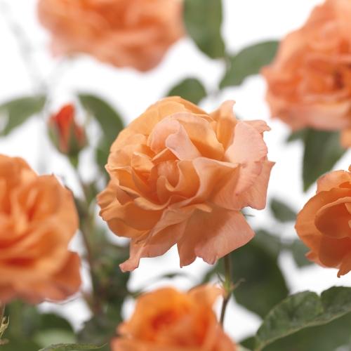 Rosa 'Metanoia' klim - klimroos