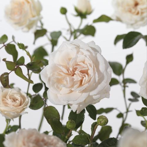 Rosa 'Penny Lane' klim - klimroos