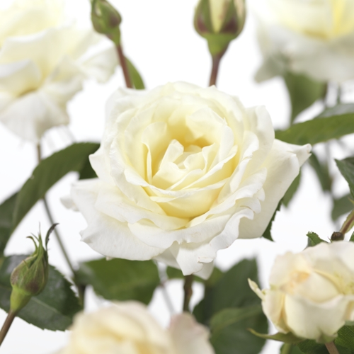 Rosa 'Paul's Lemon Pillar' klim - Grootbloemige klimroos