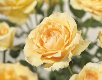 Rosa 'Sophia Renaissance' klim - klimroos