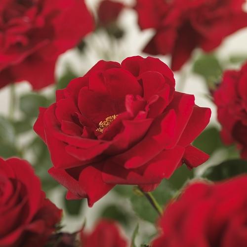 Rosa 'Sympathie' klim - Grootbloemige klimroos