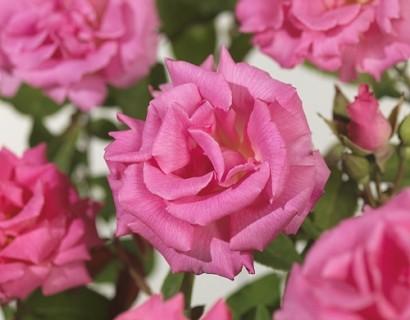 Rosa 'Zéphirine Drouhin' klim - Grootbloemige klimroos