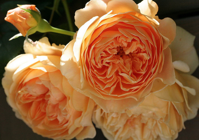 Engelse rozen van David Austin