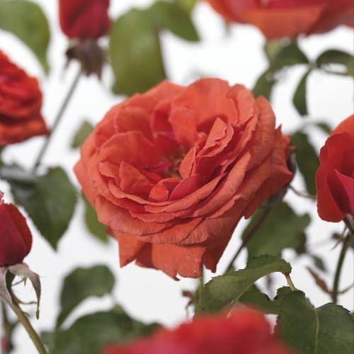 Rosa 'Duftwolke' - grootbloemige roos