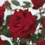 Hoe plant ik rozen? Keuze uit David Austin, Meilland, Koster, klim, stam, grootbloemig en bodembedekkende rozen.