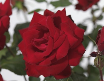 Rosa 'Dame de Coeur' stam - stamroos