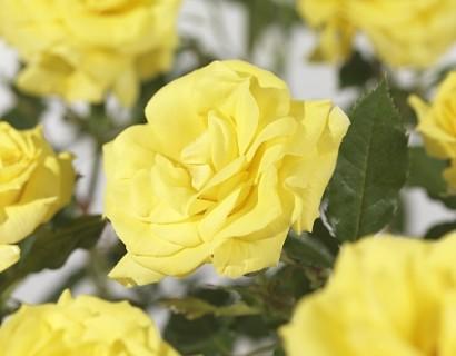 Rosa 'Friesia' - tros-heesterroos