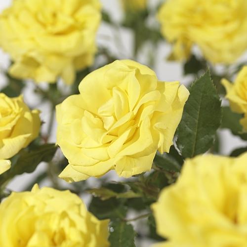 Rosa 'Friesia' stam - stamroos