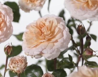 Rosa 'Glamis Castle' - David Austin roos