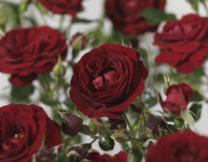 Rosa 'Grand Palace' - tros-heesterroos