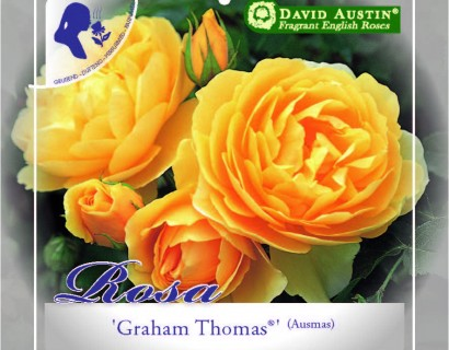 Rosa 'Graham Thomas' - David Austin roos