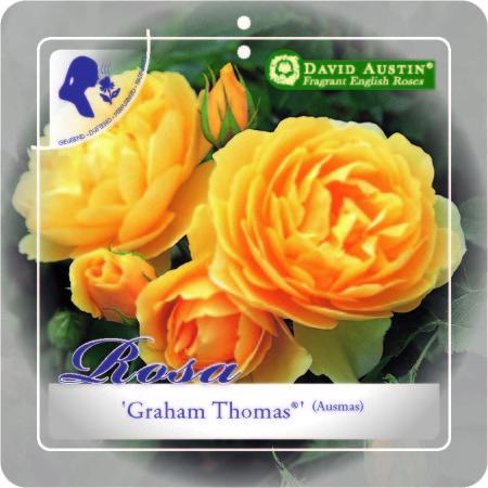 Rosa 'Graham Thomas' - David Austin roos