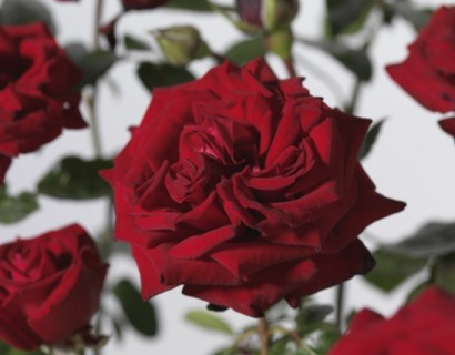 Rosa 'Ingrid Bergman' - grootbloemige roos