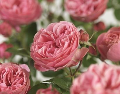 Rosa 'Leonardo da Vinci' stam - stamroos